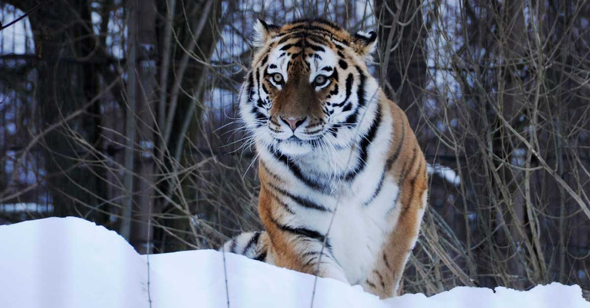 Siberian tiger prowlingthrough snow