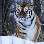 BBC Wild Mission Pitch: Siberian Tiger